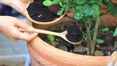 Kávovou sedlinu můžeme přidat k některým rostlinám. Compost, Organic Gardening, Gardening Tips, Growing Vegetables Indoors, Uses For Coffee Grounds, Fresh Coffee, Edible Plants, Houseplants, Vegetable Garden