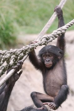 Baby bonobo learning the ropes. Photo taken at the San Diego Zoo by Lisa Diaz.