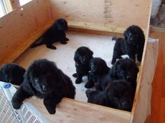 Oh lord in heaven!!! I might explode with excitement and joy!! Gorgeous Newfie pups :D I would love to sit on the floor and just play and cuddle with these fluffies :)