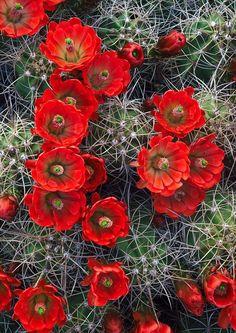 Claret-cup cactus, blooms in situ Joshua Tree National Park, CA - Photo © copyright by Michael Greene. Desert Flowers, Desert Plants, Exotic Flowers, Beautiful Flowers, Purple Flowers, Cacti And Succulents, Planting Succulents, Cactus Plants, Planting Flowers