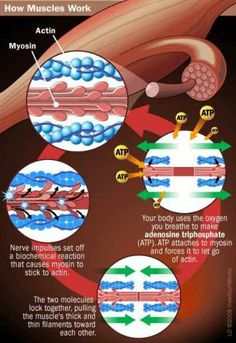 How muscle works.. Rigor Mortis, Exercise Physiology, Muscle Contraction, Muscular System, Human Anatomy And Physiology, Muscle Anatomy, Skeletal Muscle, Massage Benefits, Muscle Tissue