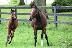 Untouched Talent with her Tiznow foal, was bred to American Pharoah on 2/12/16, his first breeding.