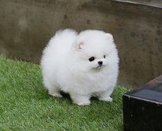 Pomerania Toy white. DOG