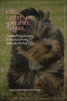 mi egy yorkshire terrier látványa