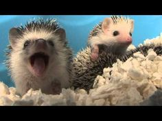 Hedgehog Yawning. Since you guys seemed so alarmed by my last hedgehog post, here's the most innocuous videos of a hedgie I could find.