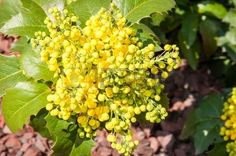 Shrubs can add ample color and energy to your garden. The 10 best small evergreen shrubs recommended can provide a charming environment all year round. Shrubs For Privacy, Shrubs For Landscaping, Acreage Landscaping, Garden Shrubs, Flowering Shrubs, Garden Plants, Landscaping Ideas, Small Evergreen Shrubs, Evergreen Bush