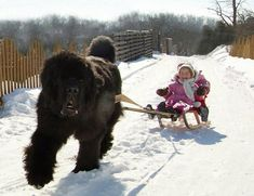 Newfoundland pulling a child on a sled, and his young mistress could not be more delighted! #NewfoundlandDog
