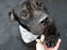 RTO SAFE❤️❤️ 8/12/16 LUMOS aka STITCH – A0995795 (ALT ID A1085026) ***RETURNED 08/11/16*** NEUTERED MALE, BLACK / WHITE, PIT BULL MIX, 4 yrs STRAY – ONHOLDHERE, HOLD FOR EVICTION Reason OWN EVICT Intake condition UNSPECIFIE Intake Date 08/11/2016, From NY 10460, DueOut Date 08/18/2016, I came in with Group/Litter #K16-069628