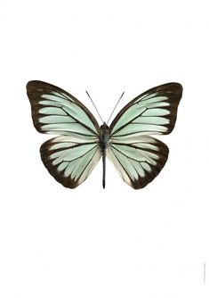With striking colours and undeniable detail, each of our entomological prints features a quality macro photograph of a butterfly. Carefully framed in our Scandinavian large oak frames, our butterfly prints are digitally produced on high quality matte p Butterfly Drawing, Butterfly Frame, Butterfly Wallpaper, Foto Poster, A4 Poster, Art Papillon, Photocollage, Beautiful Butterflies, Photo Illustration
