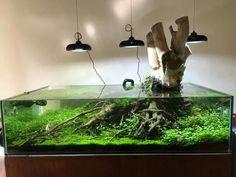 nice aquascape tank with a big piece of wood, beautiful hardscape