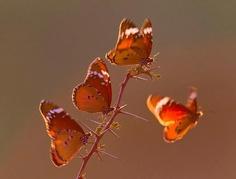 Papillons..