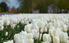 Zur Tulpenblüte nach Holland – eine Autotour durch die Tulpenfelder