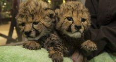 Zoo dos EUA apresenta filhotes gêmeas de guepardo: http://abr.ai/1uiUrxy Veja vídeo das 2 fofuras! pic.twitter.com/b7jOtvDT0f