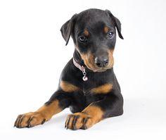 32 Best Puppies! images in 2014 | Doberman, Doberman