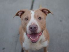 SAFE 5-10-2015 by All Breed Rescue, Vermont --- Brooklyn Center MARY LOO – A1034354 FEMALE, TAN / WHITE, AM PIT BULL TER MIX, 2 yrs STRAY – STRAY WAIT, NO HOLD Reason STRAY Intake condition EXAM REQ Intake Date 04/26/2015