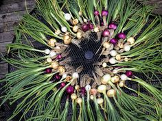 How To: Harvest and Cure Onions   The Dig In