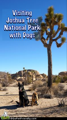 Visiting Joshua Tree National Park With Dogs -- One of the most popular attractions in the Palm Springs area is Joshua Tree National Park, and for good reason - but visiting with dogs requires finding some balance. Find more pet friendly places to stay and things to do near Palm Springs here: http://www.gopetfriendly.com/browse/united-states/california/palm-springs