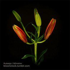 Paeonialactiflora felvételi idő 196: 55 óra