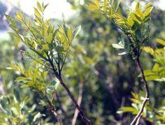 Bois d'enfer (Toxicodendron vernix) dans le sud du Canada. Le feuillage est moins imposant que sur les spécimens États-uniens. Copyright weedscanada.ca/cashew.html.