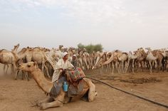 Kordofan - Goats, camels and cattle all use this crowded water point in Southern Kordofan