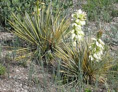 Photo - Yucca in flower