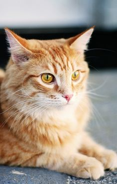 """""""When addressed, a gentleman cat does not move a muscle.  He looks as if he hasn't heard."""" --May Sarton"""