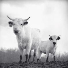 "Black and White Photography Print """"White Park Cattle"""""