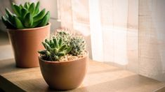 How To Care For Succulents Indoors - Smart Garden Guide Big Indoor Plants, Small Plants, Indoor Succulents, Potted Plants, Smart Garden, Easy Garden, House Plants Decor, Plant Decor, Easy Care Houseplants