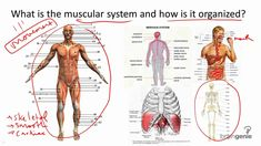 Muscular System Structure and Function Muscular System Structure, Muscular System Anatomy, Human Muscular System, Structure And Function, Human Anatomy Picture, Human Anatomy Drawing, Human Body Anatomy, Body Diagram, Musculoskeletal System