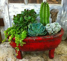 Red wooden cactus/succulents