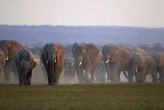 Passage To Africa - Amboseli - Kenya #Elephants #Herd