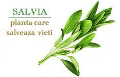 "Salvia, planta care inseamna ""salvare"" (cum sa o folosesti) Salvia, Weed, Herbs, Health, Garden, Recipes, Cholesterol, Plant, Health Care"