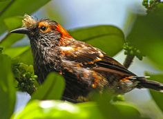 Ākohekohe 'Crested Honeycreeper' - found only on the Hawaiian Island of Maui. Its habitat is estimated to be only five percent of its original range; the species was formerly found elsewhere on Maui and on Molokaʻi, where it is now considered extinct.