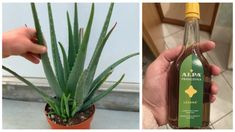 Aloe Vera, Health Advice, Herbs, Plants, Fitness, Herb, Planters, Keep Fit, Plant
