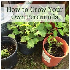 How to Grow Your Own Perennials