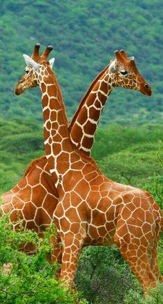 Girafas!!!!