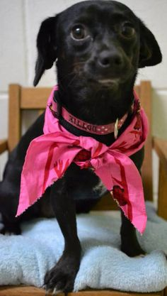 Meet+Meme,+a+Petfinder+adoptable+Chihuahua+Dog+|+Savannah,+GA+|+Meme+is+a+very+loving+little+girl+who+listen+well.+She+is+about+1+year+old+and+ready+for+a+little...