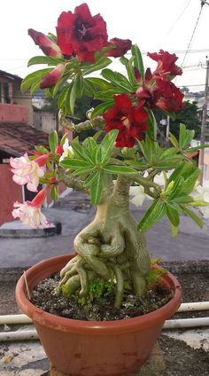 Bonsai Art, Bonsai Plants, Bonsai Garden, Garden Pots, Plantas Bonsai, Exotic Flowers, Red Flowers, Beautiful Flowers, Desert Rose Plant