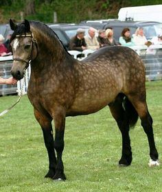 "Stunning, dappled bay Welsh Cob ""Penlangrug Diplomat""  Of all the horses I have pinned on my boards, this gorgeous boy has been re-pinned more than any other. Those dapples, that color, conformation.. a tribute to  the breed and breeders."