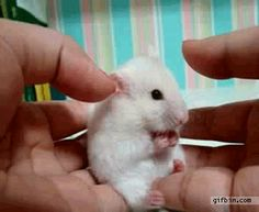 Cute and funny pictures about mice and hamsters talk. Cute Funny Animals, Funny Cute, The Funny, Hilarious, Funny Animal Gifs, Funny Videos, Funny Gifs, Funny Faces, Teddy Hamster
