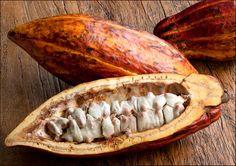 Cocoa-pod,-cross-section HOW CHOCOLATE IIS MADE