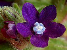 https://flic.kr/p/oKmSRQ | Anchusa Officinalis | Common Bugloss Ochsenzunge