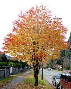 Tree Identification: Cercidiphyllum japonicum - Katsura Tree smells like brow sugar or candy Planting Flowers, Garden Trees, Plants, Katsura Tree, Colorful Trees, Outdoor Gardens, Beautiful Tree, Deciduous Trees, Trees To Plant