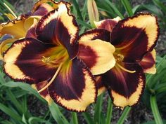[Daylily 'Magnify the Lord']  This would fit in about every one of my gardens...  :o)