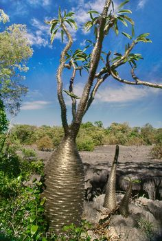 Pachypodium tree, Pachypodium baronii, Bemaraha National Park, Madagascar, Africa. Travel to Madagascar with ISLAND CONTINENT TOURS DMC. A member of GONDWANA DMC, your network of boutique Destination Management Companies for travel across the globe - www.gondwana-dmcs.net
