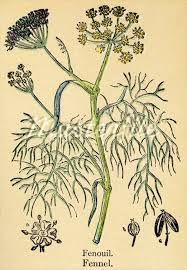 Fennikel -foeniculum vulgare - edible leaves + flowers