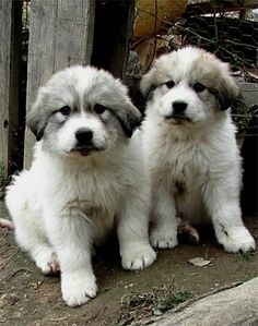 Great Pyrenees Pups! Love you!