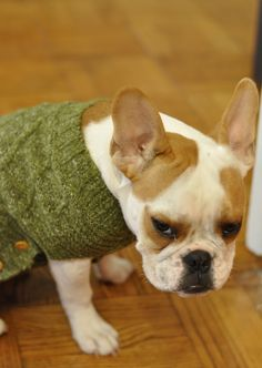 dog with a green sweater