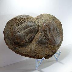 Asaphus Trilobite Plaque