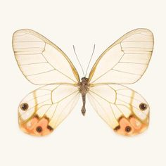 Fine art butterfly photography print of an Orange Glasswing butterfly, Haetera Piera negra, by Allison Trentelman.